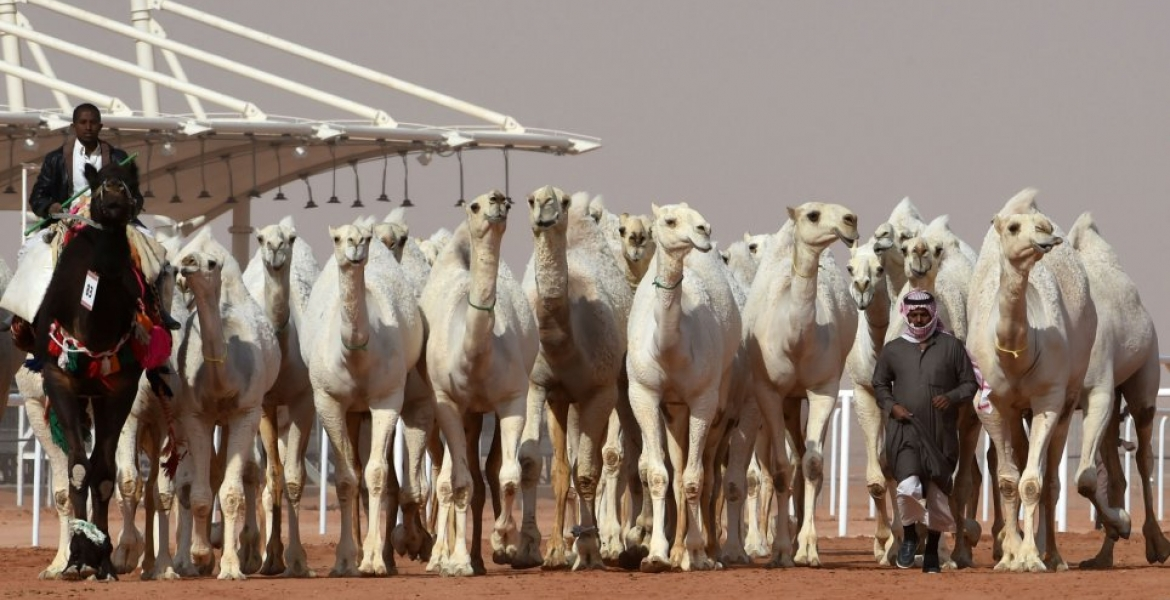 Judges Disqualify 12 Camels from a Saudi Arabia Beauty Pageant for Using Botox