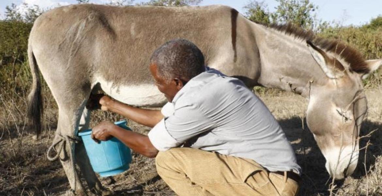 Kenyan Man Makes a Killing from Selling Donkey Milk at Sh200 Per Liter