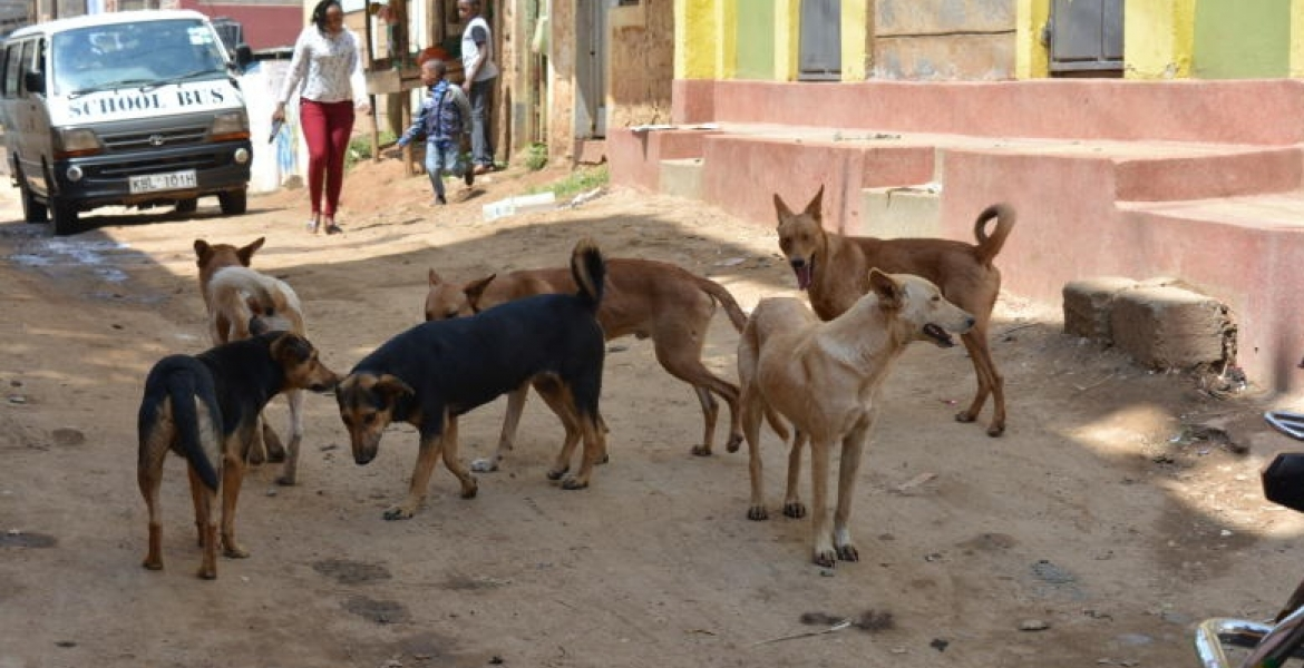 Governor Mike Sonko's Gov't to Spend Sh100 Million to Eliminate Stray Dogs in Nairobi